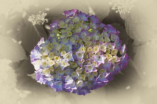 Floral background suitable for a greeting card with a central fresh delicate blue hydrangea with a white vignette border with blur effect viewed from overhead
