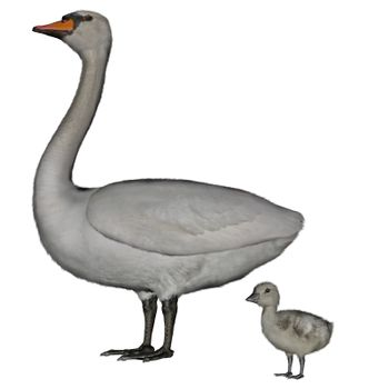 Mute swan, cygnus olor, mother and baby- 3D render