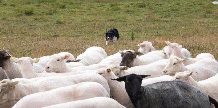 Shepherd's Dog Herding Sheep in field.