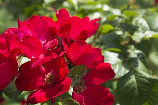 Ornamental shrubs for landscaping parks