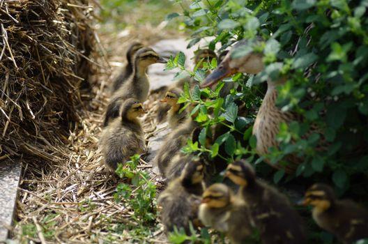 many small fluffy ducks babies