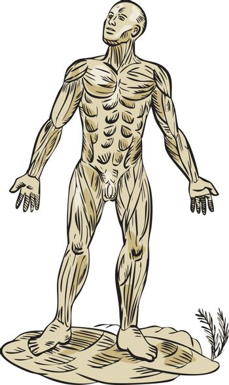 Human Muscle Anatomy Etching