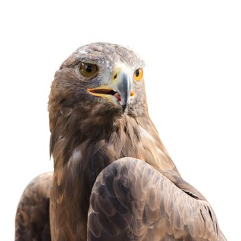Beautiful strong raptor golden eagle bird