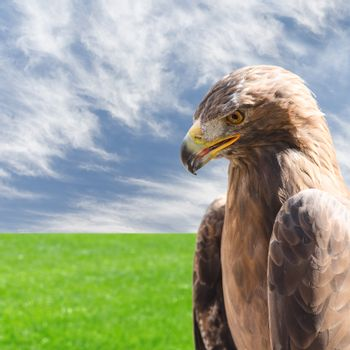 Vertical profile portrait of golden eagle over sky and grass
