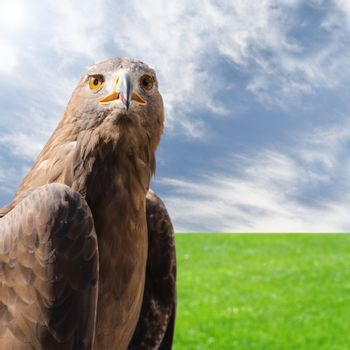 Predator bird golden eagle over natural sunny background