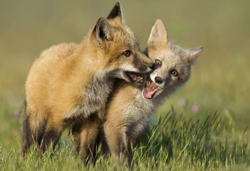 Two young red foxes playing in a field near their den.