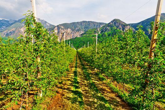 Pear Plantation