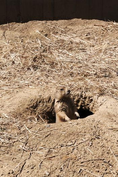 Prairie Dog on Gaurd
