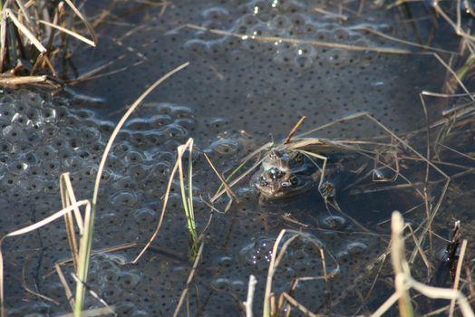 Frosk og froskeegg