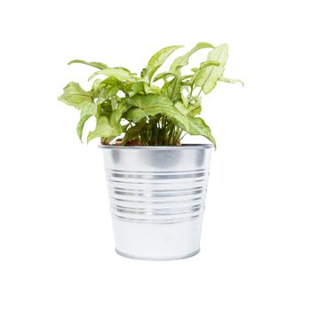 Home plant in pot isolated on white background