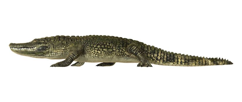 3D digital render of an American alligator walking isolated on white background