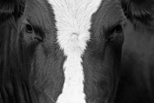 A close up of a portrait from a black-and-white cow.