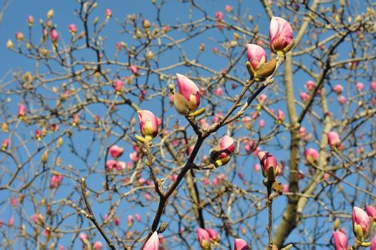 Magnolia with blooming buds