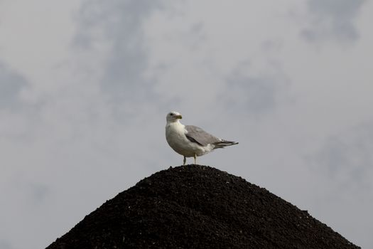 Seagull on Gravel Pit