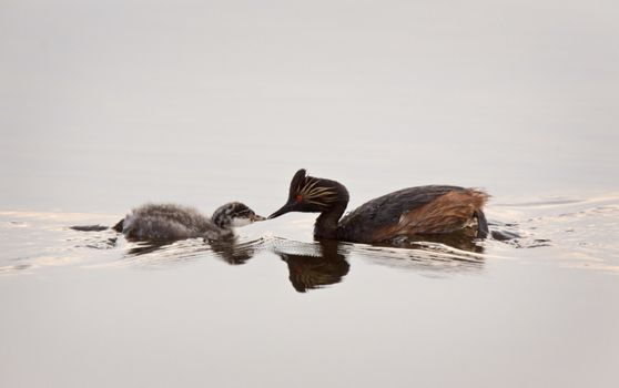 Eared Grebe with Babies