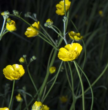 Buttercups Close Up in the forest.