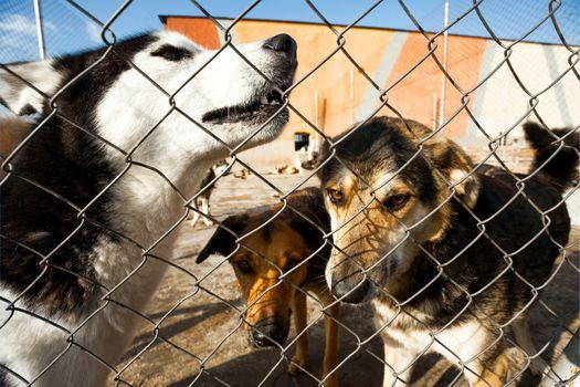 shelter husky howl dogs