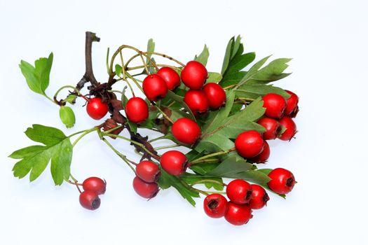 Hawthorn berries ripening