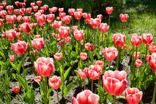 Tulips in the meadow