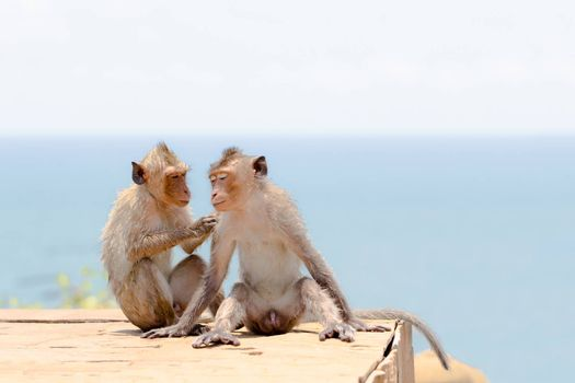 Couple of cute monkey in seaside