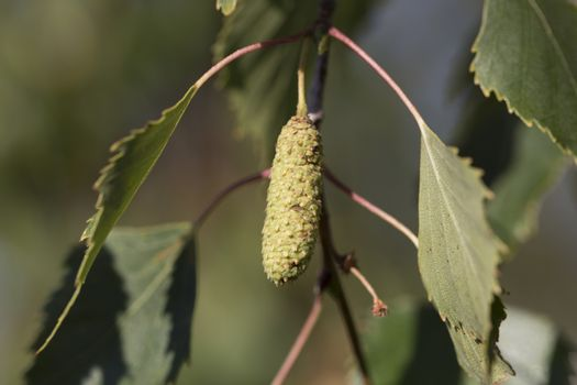 Birch Tree Seed Pod