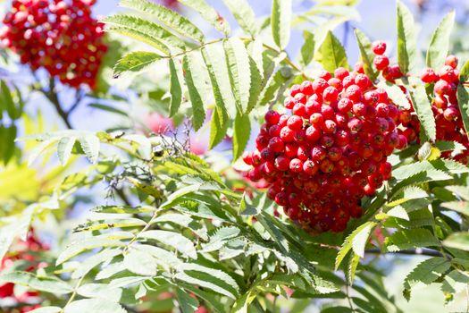 Rowan Fruit in Tree Close up.