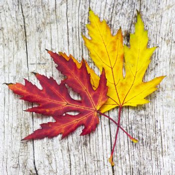 autumn maple leaves on old wooden background