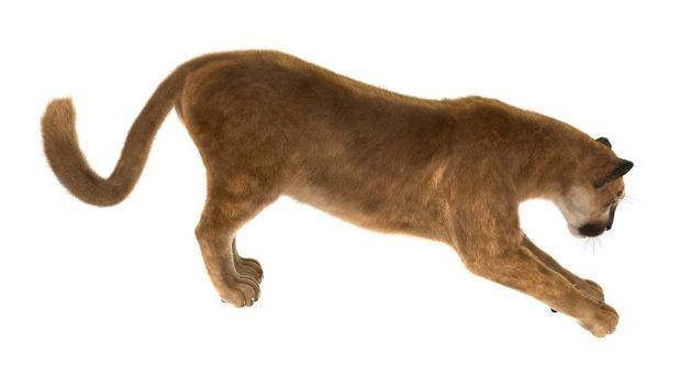 3D digital render of a big cat puma stretching iisolated on white background