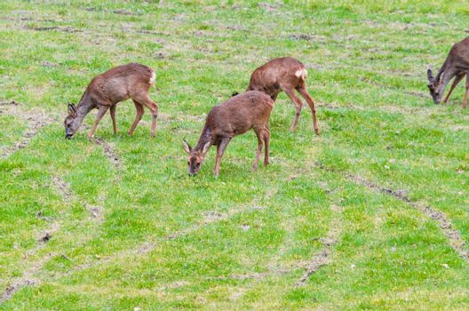 Group of wild deer on a meadow.