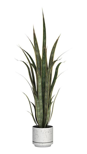 3D digital render of a sansevieria in a flower pot isolated on white background