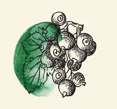 Vector illustration drawing of a organic blackcurrant