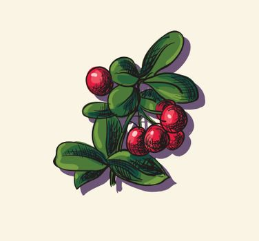 Vector illustration drawing of organic cowberry