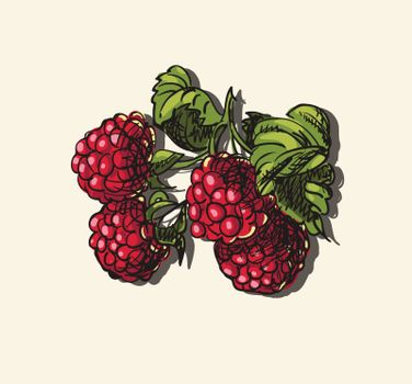 Vector illustration drawing of organic raspberries