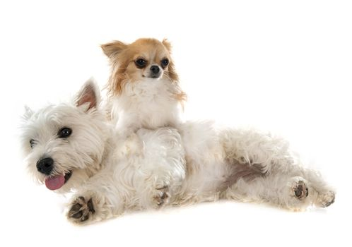 west highland terrier and chihuahua