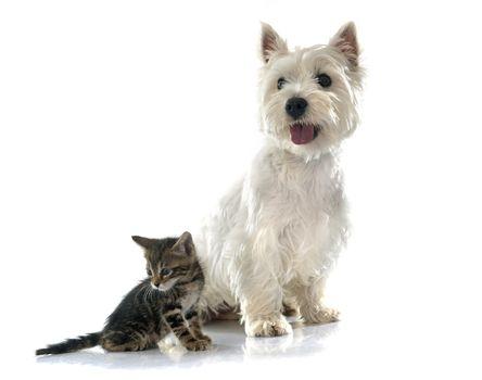 west highland terrier and kitten