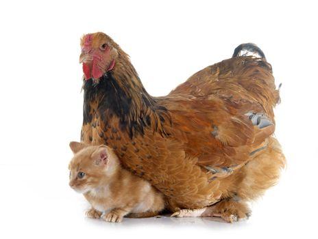 brahma chicken and kitten