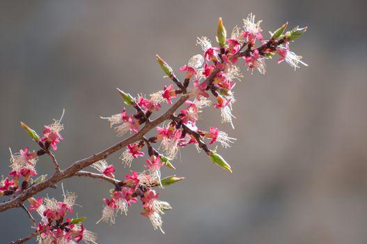 closed up the plum flower in Leh, India
