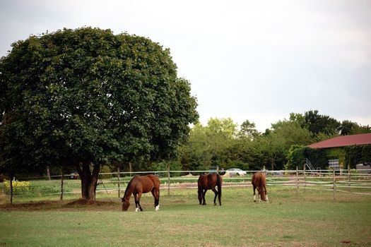 Three brown horses standing in the gate of a Horse Farm under a deciduous tree.