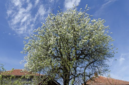 Big pear tree blossom in spring
