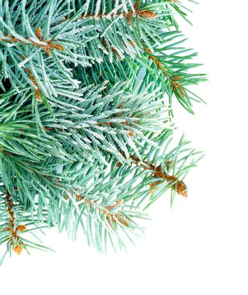 Fluffy Spruce Branches