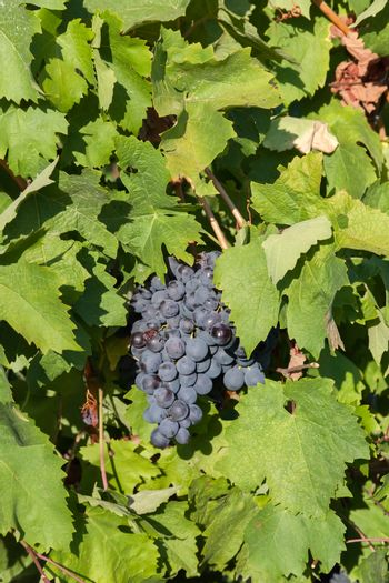 the grapes clusters hanging among leaves in clear summer day