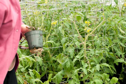 Gardener looking through potted tomato plants with yellow flowers on them.