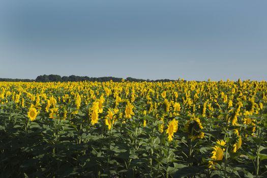 Inflorescence of sunflower
