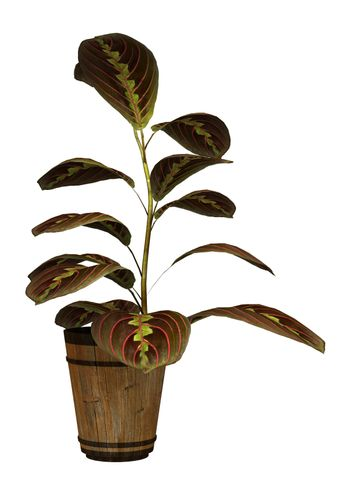3D digital render of a prayer plant isolated on white background