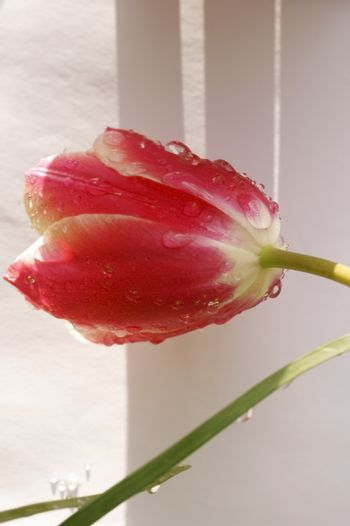 A red tulip wetted with water drops against a bright background.