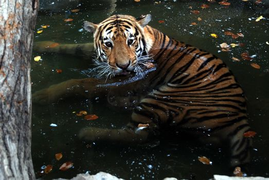 PAKISTAN, Karachi: A tiger braves the scorching heat wave on September 20, 2015 by taking a dip at the Zoological Garden in Karachi, Pakistan.