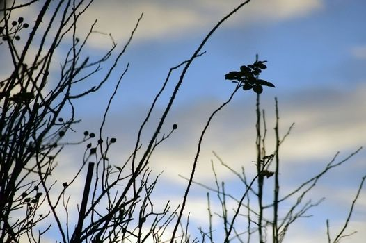 Abstract reflection of Rose bushes with thorns and clouds in a pond.