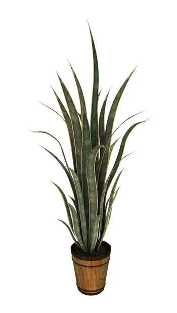 3D digital render of a sansevieria isolated on white background