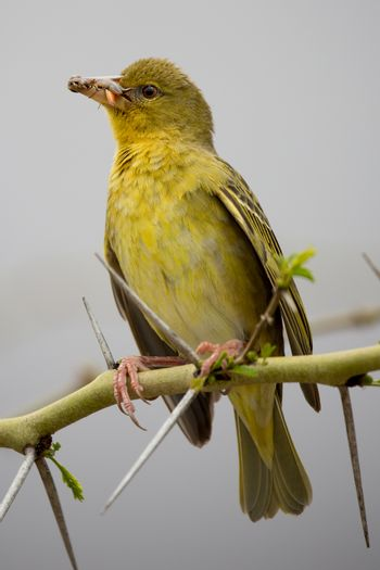 Weaver Bird with Insects in it's Beak