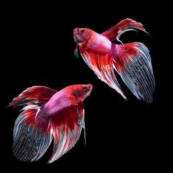 betta fish on black